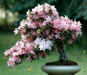 Rododendron-Azaliya