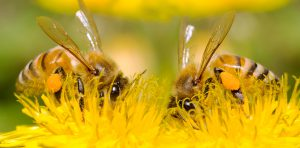 Two Bees and dandelion flower