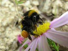 220px-Bumblebee_05