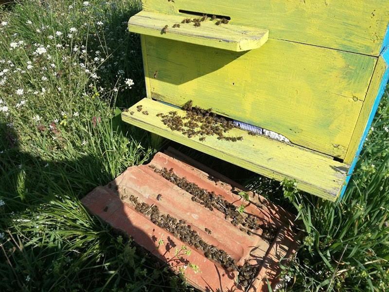 Отровени пчели от с. Алеково, Силистра на Павлин Драгнев