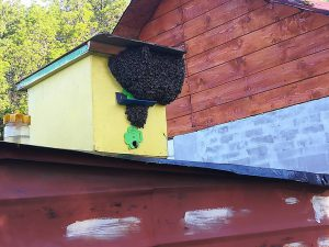 Хванат пчелен рой, чрез ВанковРой. Автор: Stanislav Dariq Monovski Qneva